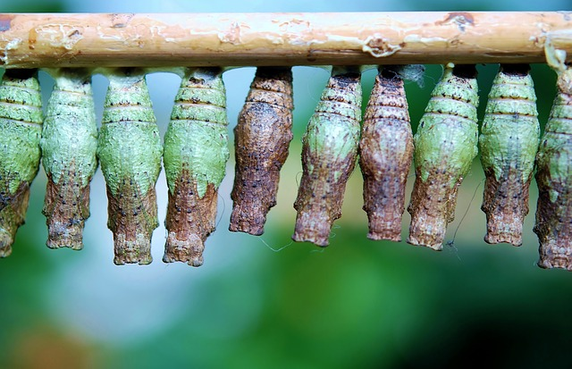 cocoon-butterfly-209095_640