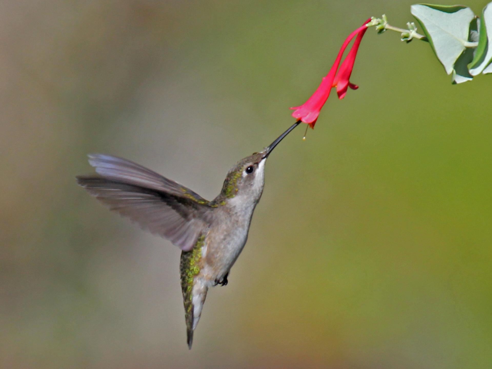 Dick Daniels (http://carolinabirds.org/)