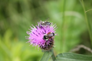 Bees on thistle. Image by Karen G. Johnston